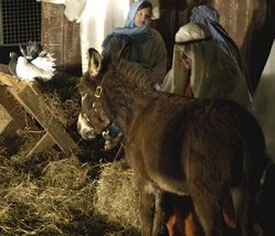 Living Nativity Animals for hire